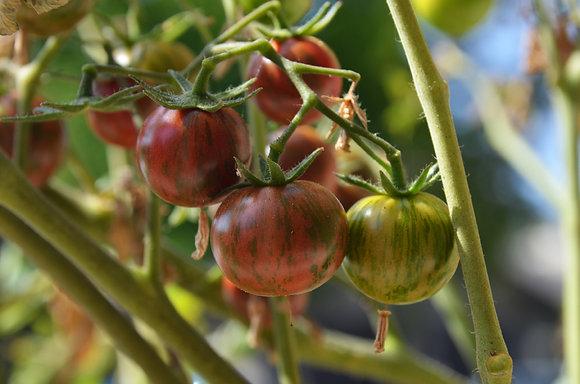 Tomato - Purple Bumblebee