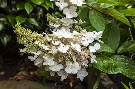 Hydrangea - Peegee 'Grandiflora' - Hydrangea paniculata