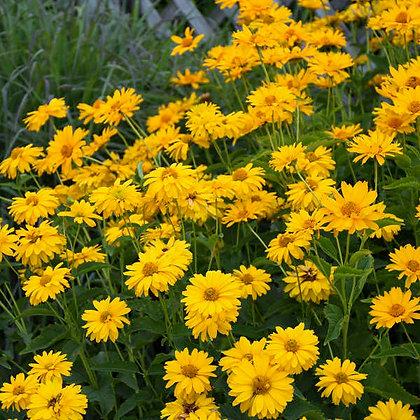 Heliopsis  'Summer Sun' - False Sunflower