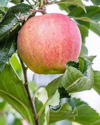 4-in-1 Apple - Honeycrisp, Fuji, Red Mac, Braeburn