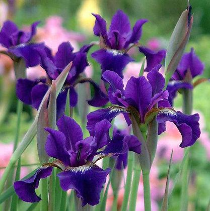 Siberian Iris- 'Ruffled Velvet'