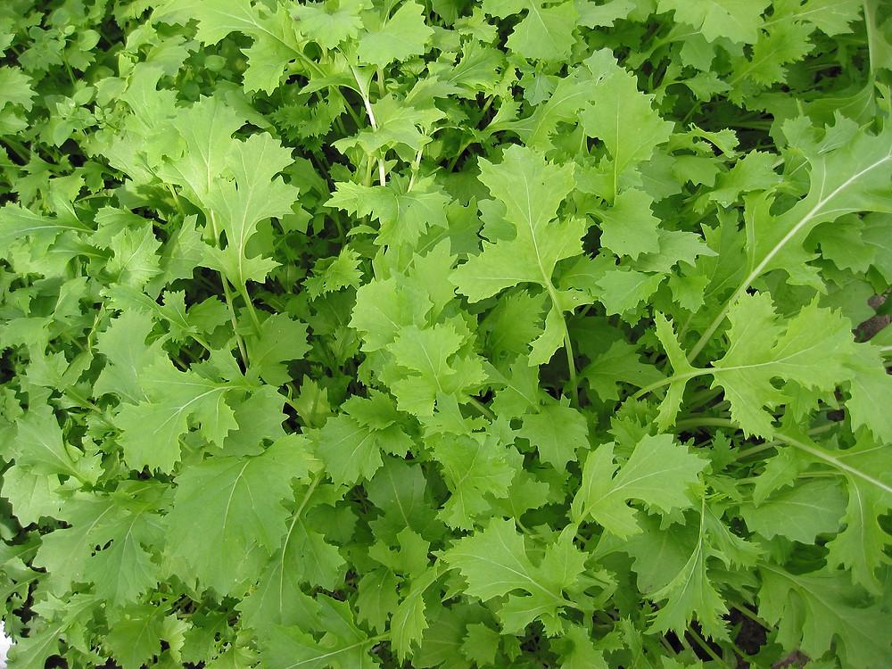 Raapstelen_Brassica_campestris_greens.jpg