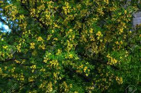 Siberian Pea Shrub - Caragana arborescens