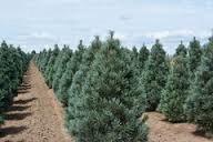 Pine 'Vanderwolf's Pyramid' - Pinus flexilis