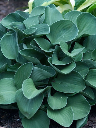 Hosta - Blue Mouse Ears