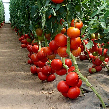 Tomato - Bobcat