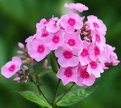 Garden Phlox - Pink Flame