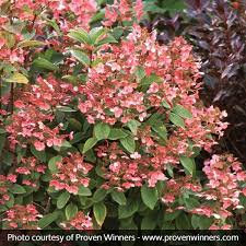 Hydrangea 'Little Quick Fire' - Hydrangea paniculata