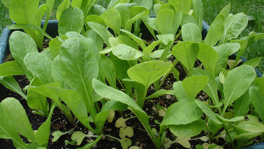 how-to-grow-mustard-greens.jpg