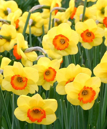 Daffodil -Large Cupped Bantam  $/bulb