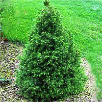 Spruce Dwarf Alberta 'Conica' - Picea glauca