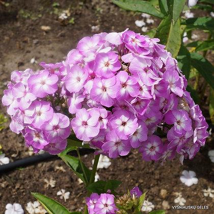 Garden Phlox - Lilac Flame