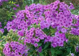 Garden Phlox - Purple Flame
