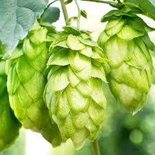 Hops - ' Cascade' Humulous lupulus