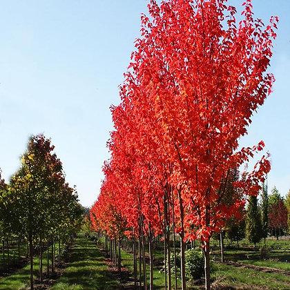 Red Maple- 'Red Rocket' (Acer Rubrum)