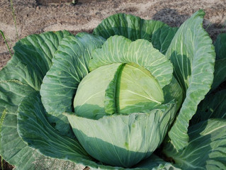 Suspiciously Delicious Cabbage