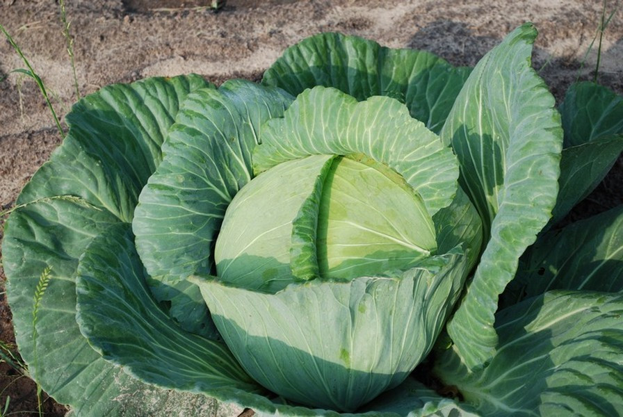 healthy-looking-cabbage.jpeg