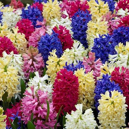 Hyacinth - Rainbow Mix  $/bulb