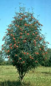 Mountain Ash Russian 'Rossica' - Sorbus aucuparia