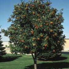 Mountain Ash - Cardinal Royal 'Michred' - Sorbus aucuparia