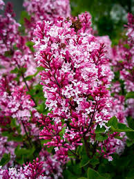 Lilac 'Bailbelle' - Saringa x Tinkerbelle