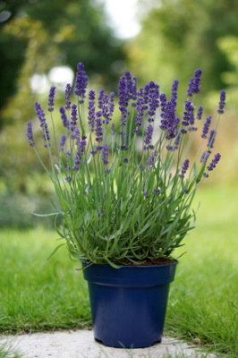 Lavender- 'Big Time Blue'