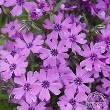"Creeping Phlox 'Purple Beauty' - 3"" pot"