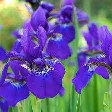 Siberian Iris- Caesar's Brother