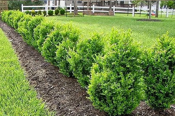 Boxwood- 'Green Mountain' (Buxus)