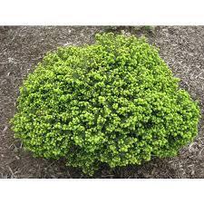 Spruce 'Little Gem' - Picea abies