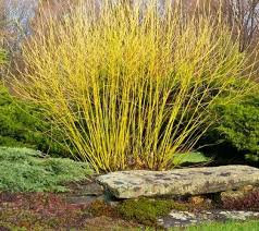 Dogwood 'Bud's Yellow' - Cornus alba sibirica