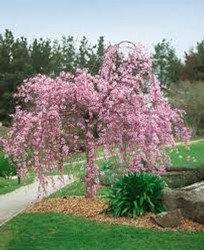 Cherry Blossom - Weeping Higan 'Pendula' - Prunus subhirtella