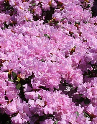 Rhododendron 'PJM Pink Delight'