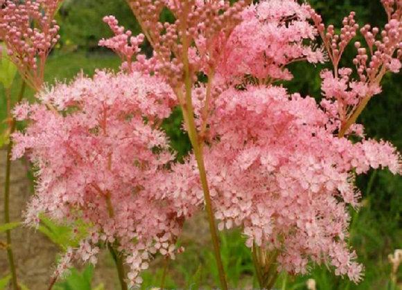 Filipendula Pink
