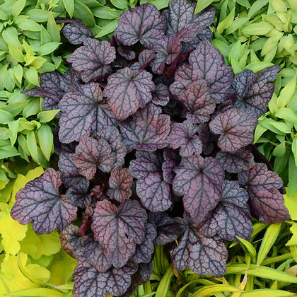 Heuchera 'Grape Expectations'