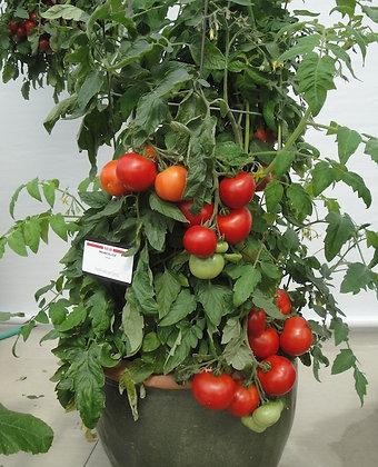 Tomato - Homeslice