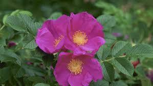 Rugosa Rose 'Rubra' - Rosa rugosa