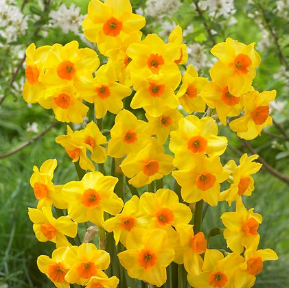 Daffodil - Bunch Flowering Martinette $/bulb