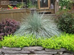 'Sapphire' Blue Oat Grass (Helictotrichon sempervirens)