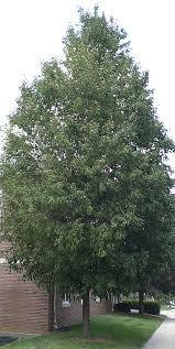Mountain Ash 'Skybound' - Sorbus aucuparia 175cm