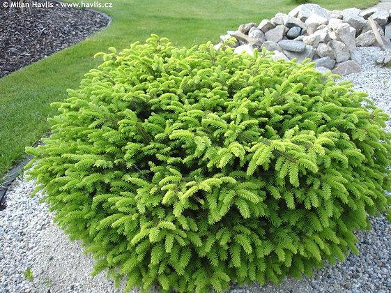 Spruce Nest- 'Nidiformus' (Picea abies)