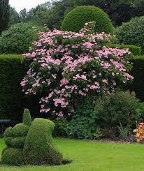 Dogwood - Pink Chinese Flowering 'Satomi' - Cornus kousa