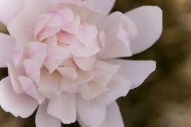 Magnolia 'Centennial Blush' - Magnolia stellata