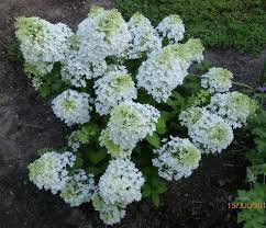 Hydrangea - Bobo 'ILVOBO' - Hydrangea paniculata