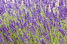 Lavendula angustifolia 'Hidcote Blue' - Hidcote Blue Lavender