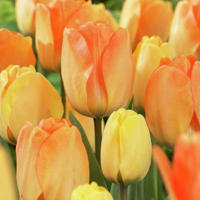 Tulip - Daydream  $/bulb