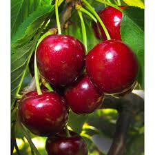 Cherry - Van
