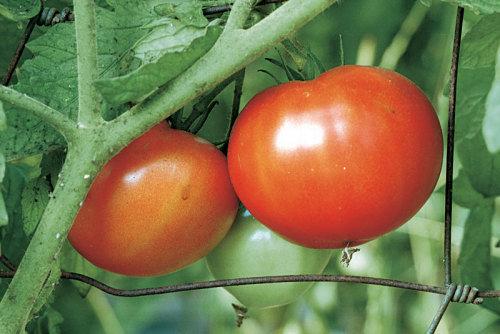 Tomato - Ball's Beefsteak