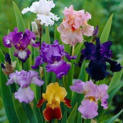 German Iris 'Bearded Iris'