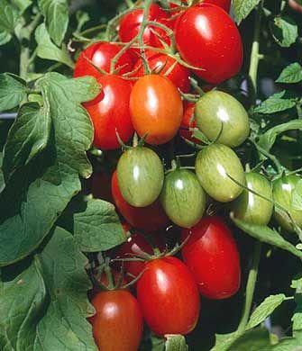 Tomato - Cupid